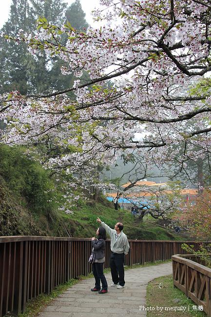 阿里山櫻花季陰天版12