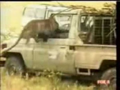 animals_attacking_cars_22