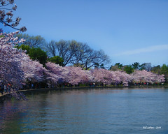 Blossoms Along the Tidal Basin (bill.lepere) Tags: washingtondc spring cherryblossoms novaphoto blepere tidalbasis