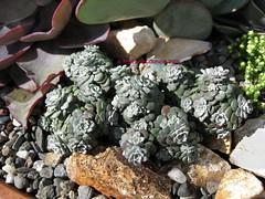 Sedum spathulifolium 'Cape Blanco' (Kelley Macdonald) Tags: sedum sedumspathulifolium pacificstonecrop broadleafstonecrop sedumspathulifoliumcapeblanco