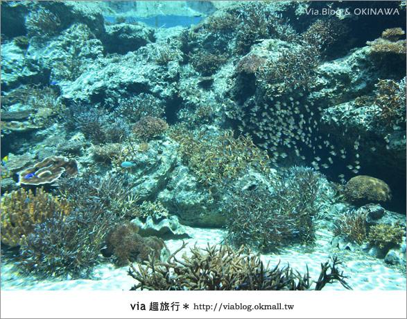 【沖繩景點】美麗海水族館~帶你欣賞美麗又浪漫的海底世界!9