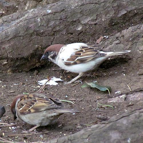 2011-4-6albino-Sparrow-3