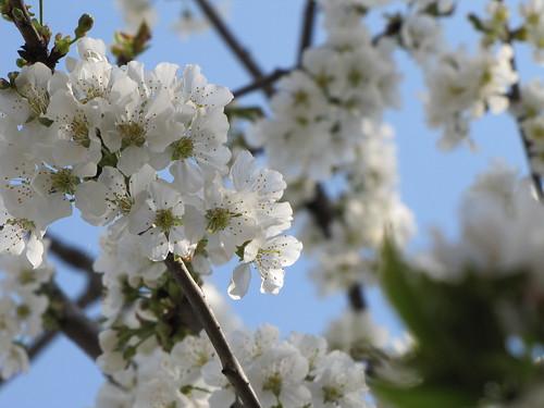 Ciliegio in fiore 10