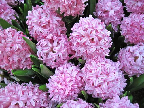 Primed in pink