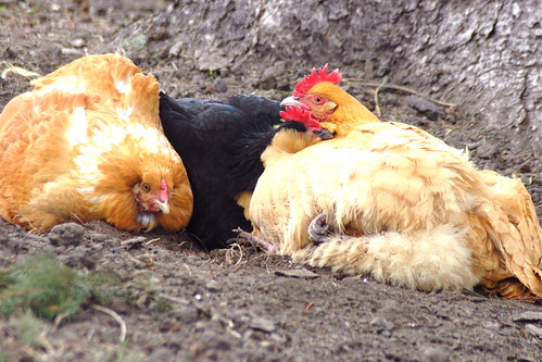 The Girls enjoying a dust bath on a Lazy Sunday.