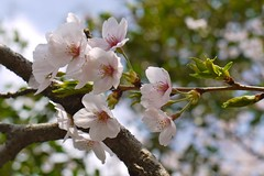 cherry blossom 4 (Yorkey&Rin) Tags: macro japan spring april  cherryblossom g1 kanagawa rin kawasaki  2011 asaoku