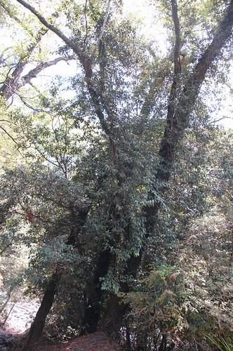 楠溪林道的愛玉子植株。(攝影:特生中心研究員許再文)