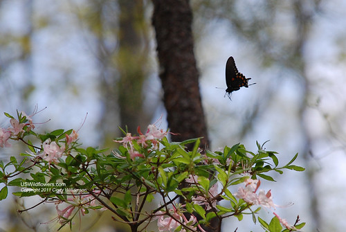Butterfly at Wild Azalea