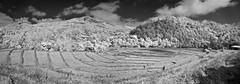 Doi Inthanon Rice Paddies Panorama In Monochrome (aeschylus18917) Tags: danielruyle aeschylus18917 danruyle druyle ダニエルルール ダニエル ルール nikon d70 infrared 赤外線 ir landscape scenery surreal nikond70 thailand ราชอาณาจักรไทย ratchaanachakthai thai chiangmai เชียงใหม่ blackandwhite monochrome maechaem แม่แจ่ม chomthong จอมทอง doiinthanon ดอยอินทนนท์ panorama paddy clouds hills mountains forest jungle terrace ricepaddy countryside nature agriculture harvest terraces tambo paddyfield 田んぼ tanbo pxt 1870mm