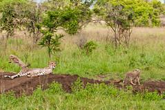 Cheetah with cubs (Eefje74) Tags: africa trip travel game nature animal forest cat southafrica cub bush wildlife reserve safari afrika cheetah wilderness predator zulu kwazulunatal gamedrive gamereserve cheetahcub sudafrica forestlodge phinda zuidafrika presstrip privategamereserve kwazoeloenatal phindaprivategamereserve