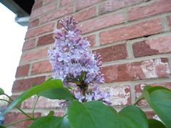 Bike Commute 36: Lilacs! by Rootchopper