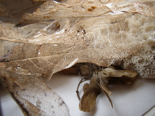 dried leaf skeletons