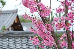 DSC_0155 (yhshangkuan) Tags: japan spring kyoto blossom arashiyama bloom  cherryblossom sakura    fullbloom 2011 tenryujitemple