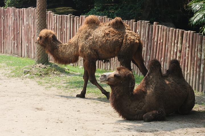 木柵動物園(雙峰駱駝)064