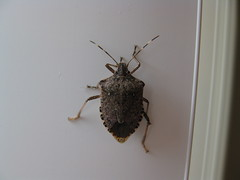 Stink bugs in house photo