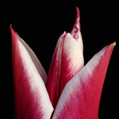 TuliPeaks (AnyMotion) Tags: flowers red plants white macro rot primavera nature floral colors garden square petals spring colours blossom frankfurt natur pflanzen blumen tulip makro blte garten printemps bltenbltter fa tulipa farben frhling tulpe onblack weis 2011 makroaufnahmen anymotion 800x800 canoneos5dmarkii 5d2