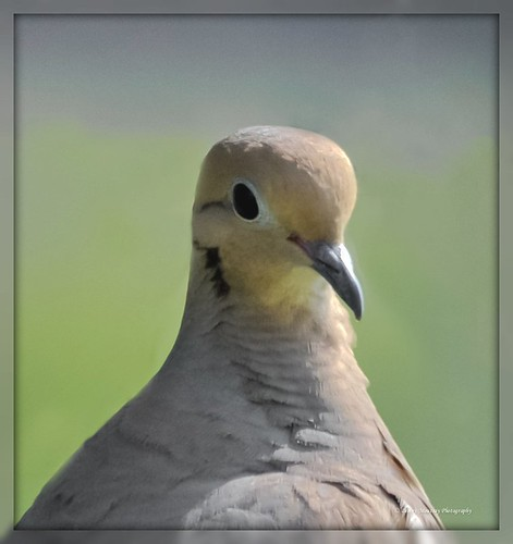 White Winged Dove Close Up