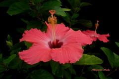 Hibisco (Altagracia Aristy) Tags: blackbackground amrica dominicanrepublic hibiscus hibisco tropic caribbean antilles laromana cayena caribe amapola repblicadominicana fondonegro trpico antillas sfondonero quisqueya altagraciaaristy fujifilmfinepixhs10 fujihs10 fujifinepixhs10 caraib carabi