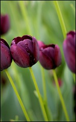 Tulips @ the Boathouse, Forest Park (Bettina Woolbright) Tags: flower green floral zeiss purple tulip boathouse forestpark zeiss50mm bettinawoolbright zeissf2