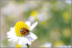 Variegated Lady Beetle -    (Eran Finkle) Tags: macro closeup ladybird ladybug ladybeetle asteraceae larva chamomile camomile coccinellidae matricariarecutita  hippodamiavariegata variegatedladybeetle  germanchamomile       eranfinkle        13