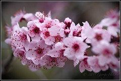 Then bursting forth in glorious day (GFletch -- persistently behind :)) Tags: pink flower macro rain easter virginia blossom bokeh drop floweringplum roundhill sigma150mmmacro canon40d