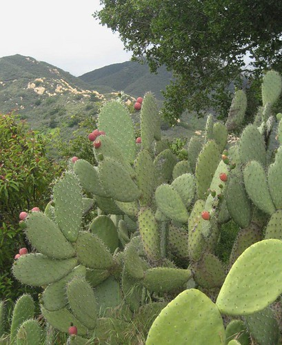 Opuntia Patch 2