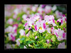 I fell in love! (e.nhan) Tags: pink flowers light flower art nature leaves closeup landscape colorful colours dof bokeh arts backlighting enhan