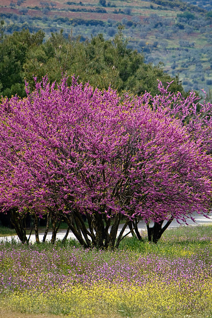 epidavros - tree