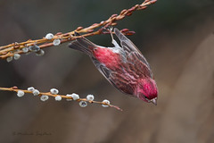 A53F0839-Edit Purple Finch (~ Michaela Sagatova ~) Tags: bird nature dive dundas purplefinch pussywillow birdinflight carpodacus birdphotography purpureus dvca michaelasagatova