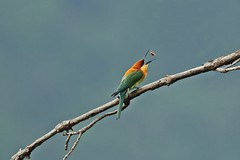 The Toss- Chestnut Headed Bee eater (Gurusan2010) Tags: bee eater coonoor chestnutheadedbeeeater nilgiribiosphere tamilnadubirds birdsofnilgiris ootybirds tossingprey