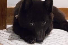 Shame? Nhom! (AlFerreira) Tags: dog cute puppy sleepy cao cachorro schipperke temaki schiperke aleferreira schipperkke