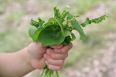 Miners' Lettuce Bouquet