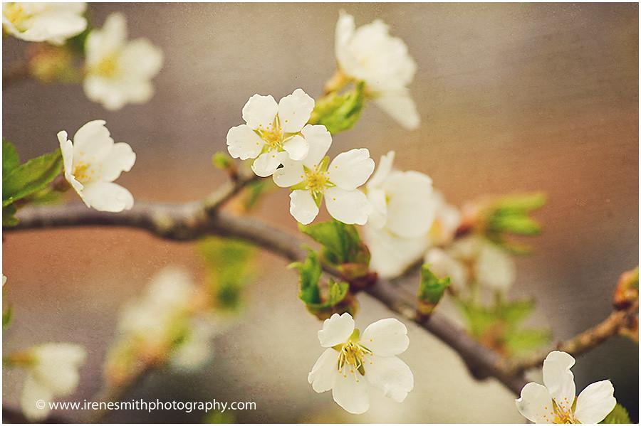 cherry blosson