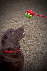 279/365 - April 28, 2011 - Patience is a Virtue (Keeperofthezoo) Tags: dog canada calgary grass ball labrador ab chocolatelab alberta browndog labradorretriever tennisball patience petportrait project365 ballthrower canonxsi