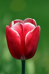 Red tulip (sovlanik) Tags: from red sunlight plant flower color green nature beautiful beauty field grass yellow garden out season outdoors photography leaf spring saturated stem day purple bright image blossom head vibrant background group formal may nobody petal growth tulip backgrounds cheerful arrangement variation multi foreground descriptive