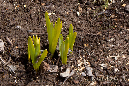 Daffodil buds found in the willows (2 of 3).jpg