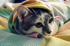 Gatti furbacchioni che si intrufolano nelle coperte altrui (♥GiulyGood♥) Tags: cat kitten si che gatti nelle coperte altrui furbacchioni intrufolano