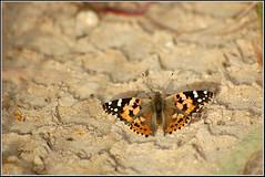 Cynthia cardui -   (Eran Finkle) Tags: closeup butterfly butterflies lepidoptera paintedlady vanessacardui nymphalidae  papilionoidea  rhopalocera nikond80    tokina80400mmf4556atxd