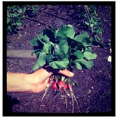 De eerste oogst