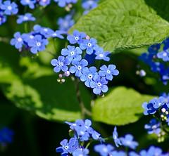 Have a nice day! - Buona giornata! (Magic Theatre [OFF}) Tags: flowers blue verde green primavera spring bokeh blu fiori blommor vr bl grn pentaxk200d