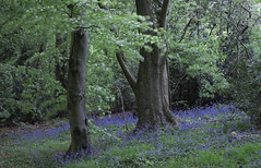 Blubells in Twilight With a Gentle Breeze (cycle.nut66) Tags: trees green leaves bluebells four movement twilight woods wind chilterns olympus hills lane micro mauve breeze zuiko hale mellow gentle chiltern thirds pruple runks epl1