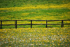Buttercup fence #1