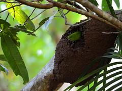 Guaiabero (Bolbopsittacus lunulatus) (Bram Demeulemeester - Birdguiding Philippines) Tags: philippines guaiabero bramdemeulemeester birdguidingphilippines philippinesbirdingtours