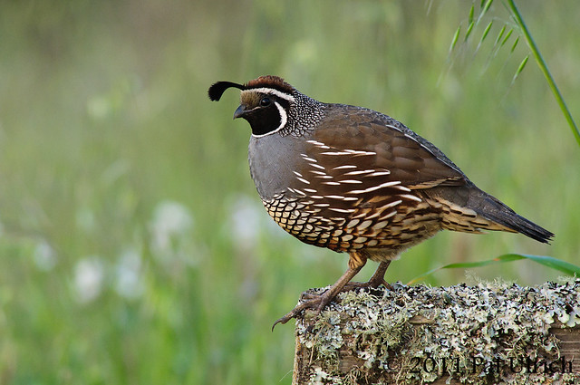 Quail after sunset