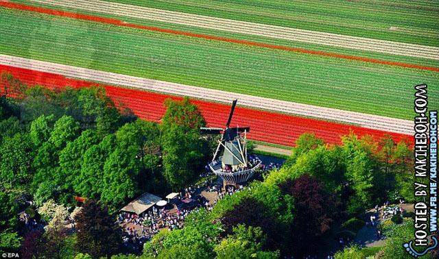 tulipsbloomHolland5
