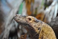 Komodo Dragon (Gareth Brooks) Tags: zoo dragon reptile lizard komodo komododragon chesterzoo monitorlizard reptilia varanuskomodoensis chesterzookomododragon
