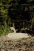 Animal (GZZT) Tags: berlin nature water animal germany deutschland tiere swan natur tier 030 gzzt martinbriese