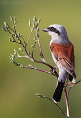Red-backed shrike    -  () Tags: male bird bin sultan qatar shrike   redbacked   wachers