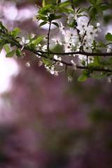 Cerisier Blanc (Rémi. P.) Tags: pink flowers white paris france green rose canon 50mm soft bokeh vert blanc cherrytree cerisier