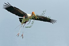 Painted Stork (Gurusan2010) Tags: nestbuilding paintedstork mycterialeucocephala tamilnadubirds
